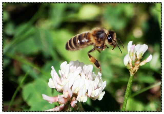 une abeille fuyante... 16-4e099d