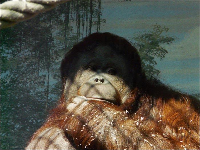 femelle orang outan prostituée