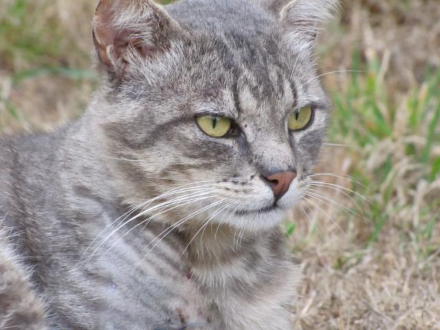 Spider chat tigré gris mâle FIV+ de 08/2005 - dpt 56 Img_0262-1eb8c52