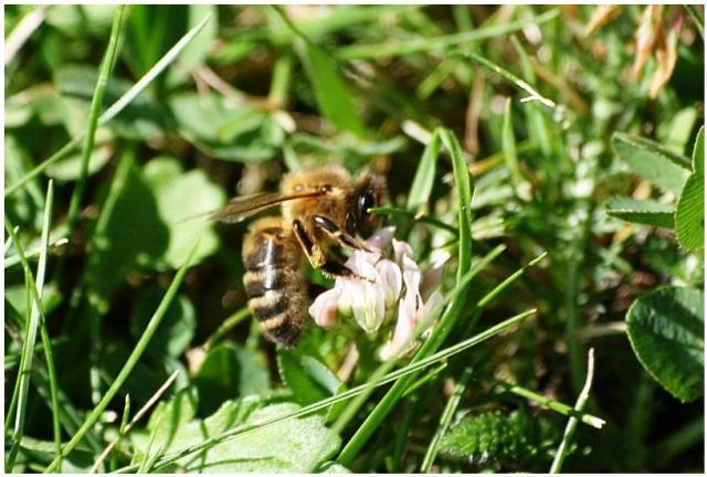une abeille fuyante... 1-4e098e