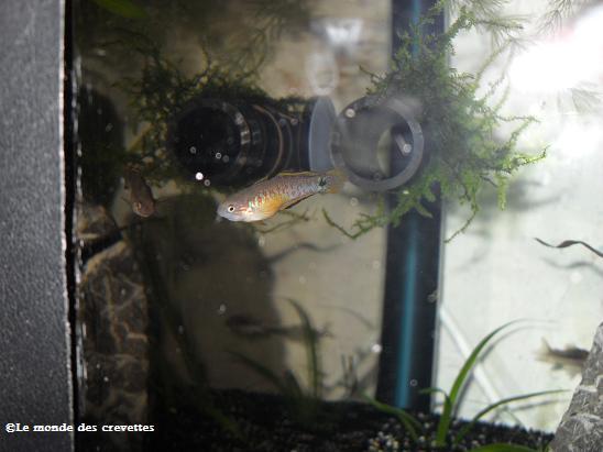 Mes Tateurndina ocellicauda 20090923_28-135e654