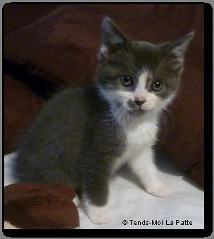 KITTY femelle grise et blanche de 1 mois  Chatone-de-margaux---co--01-21c6d25